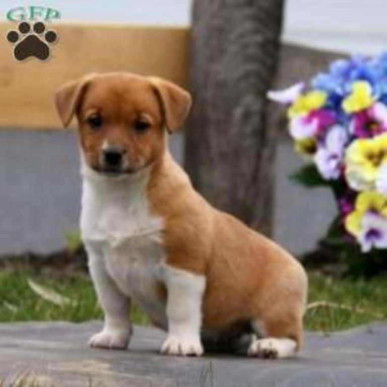 Corgi Mix Puppies For Sale In Pa
