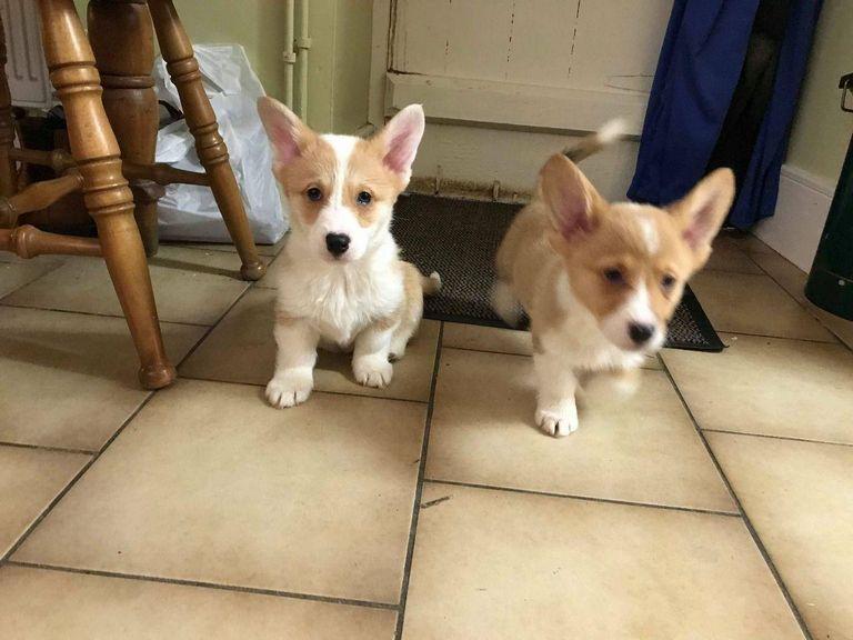 Corgi Puppies Alabama