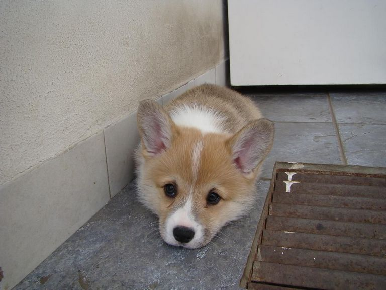 Corgi Puppies For Sale In Cedar Rapids Iowa