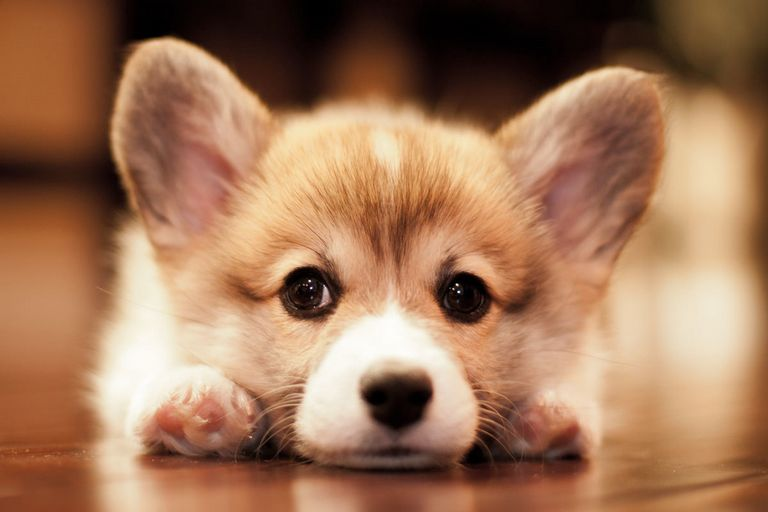 Corgi Puppies For Sale Orange County