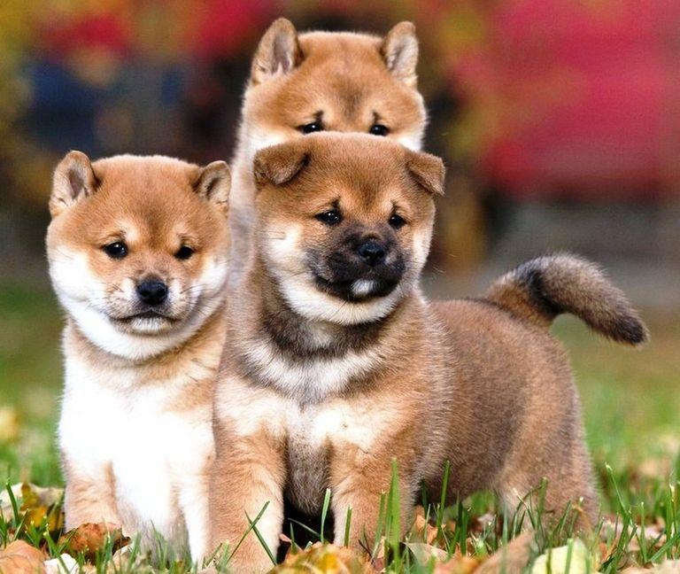 Corgi Puppies For Sale Phx Az