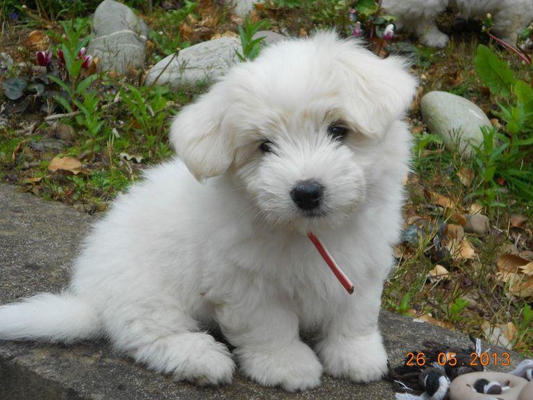 Coton De Tulear Puppies For Adoption