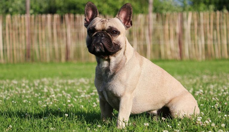 Couture French Bulldogs Maryland
