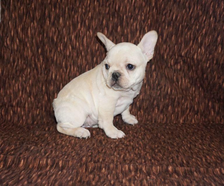 Cream French Bulldog For Sale