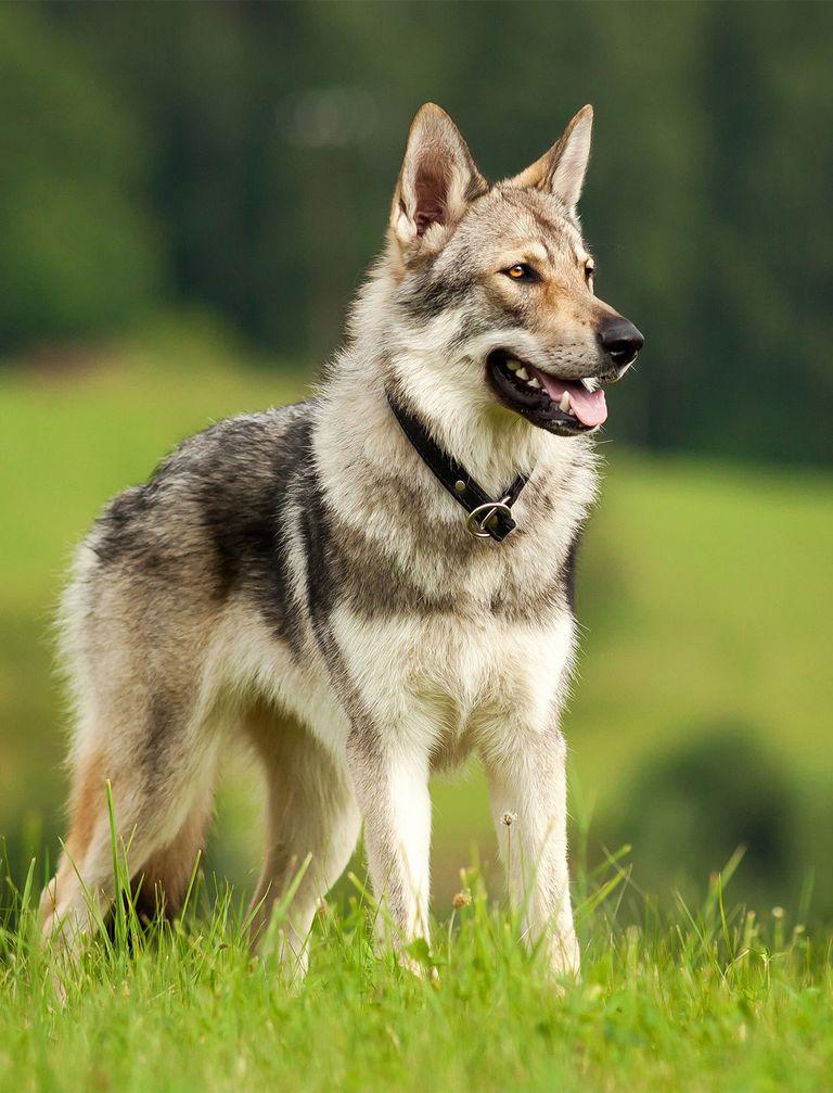 Czechoslovakian Wolfdog For Sale