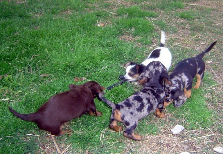 Dachshund Puppies Austin Tx