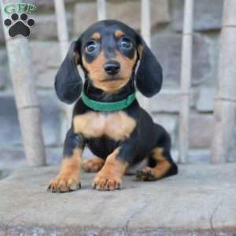 Dachshund Puppies Cleveland Ohio