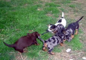 Dachshund Puppies For Sale Austin Texas