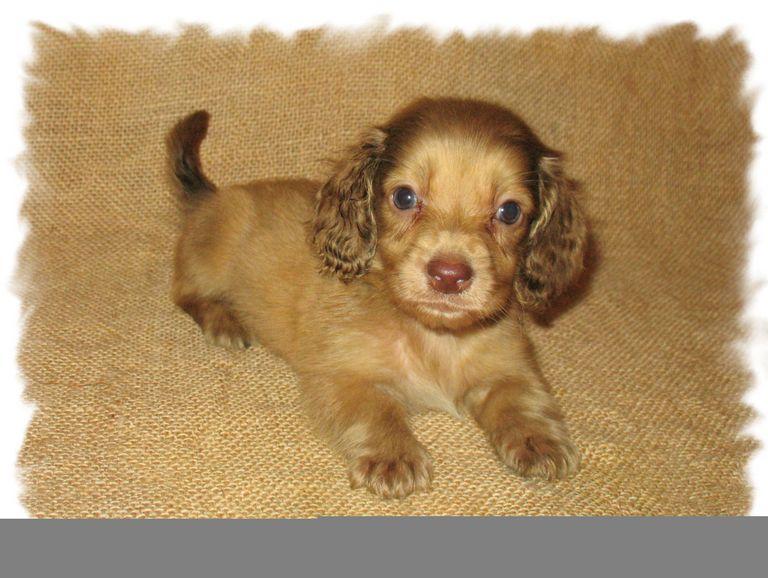 Dachshund Puppies For Sale In Birmingham Al | Top Dog ...