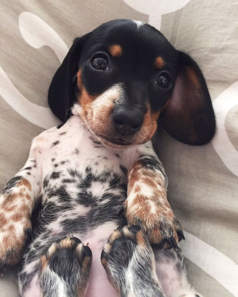 Dachshund Puppies For Sale In Delaware