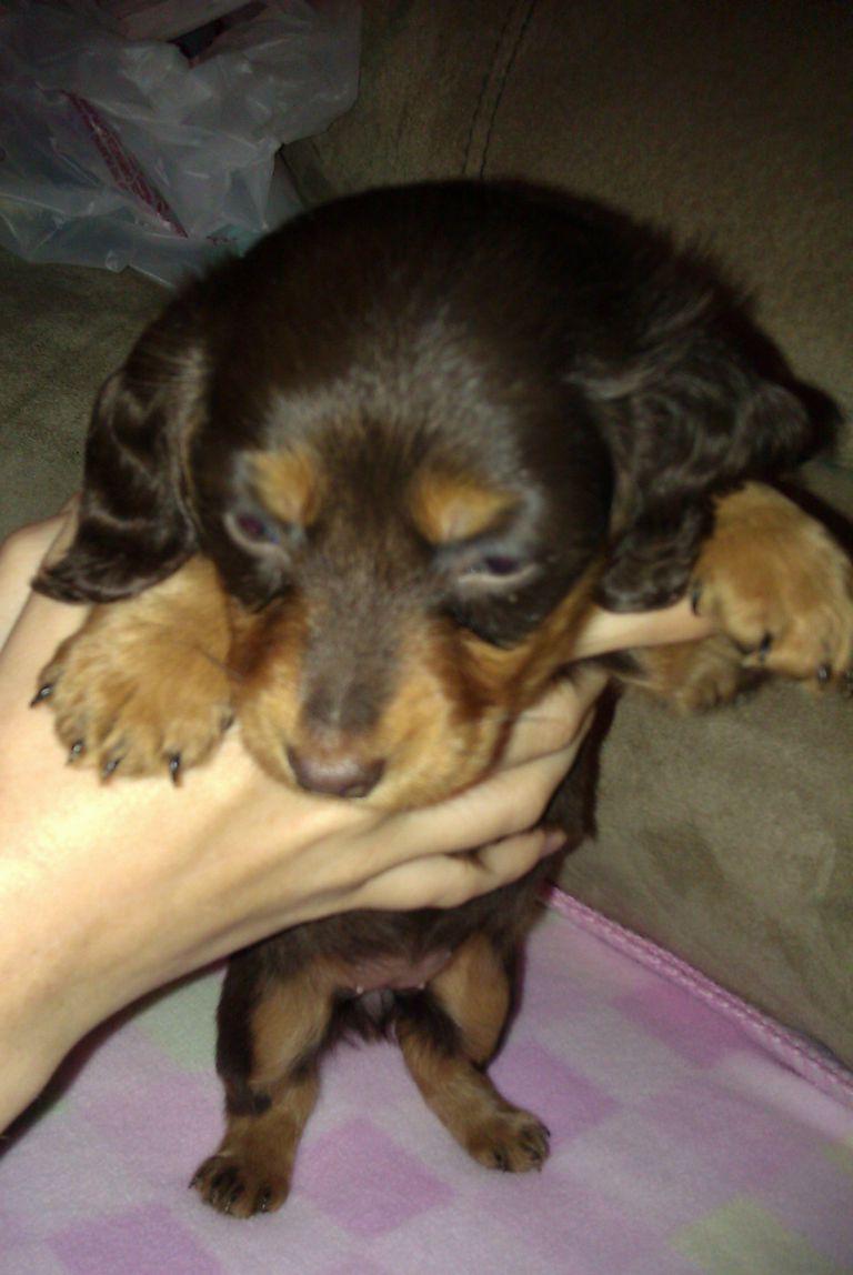 Dachshund Puppies For Sale In Ohio Ebay