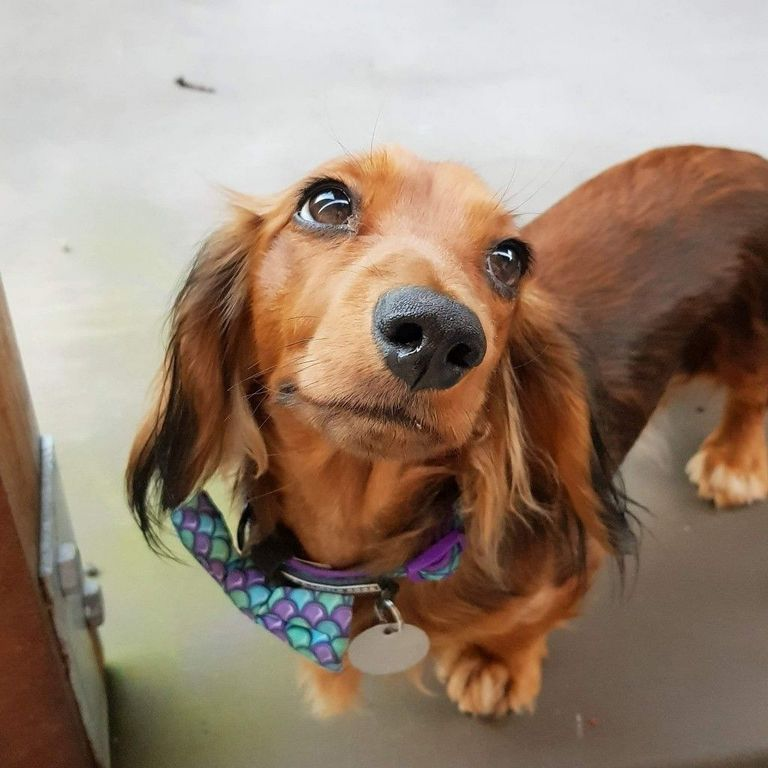 Dachshund Puppies For Sale In Rapid City Sd | Top Dog ...