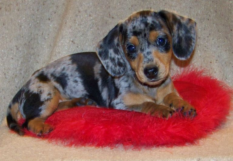 Dachshund Puppies For Sale Youngstown Ohio
