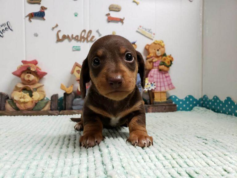 Dachshund Puppies Gilman Il