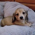 Dachshund Puppies Glencoe Mn