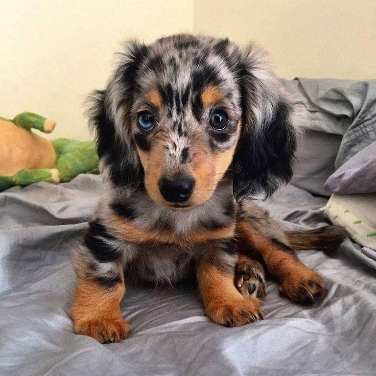 Dachshund Puppies St Augustine Fl