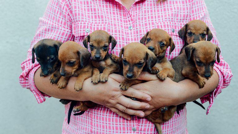 Dachshund Puppies Tampa Florida