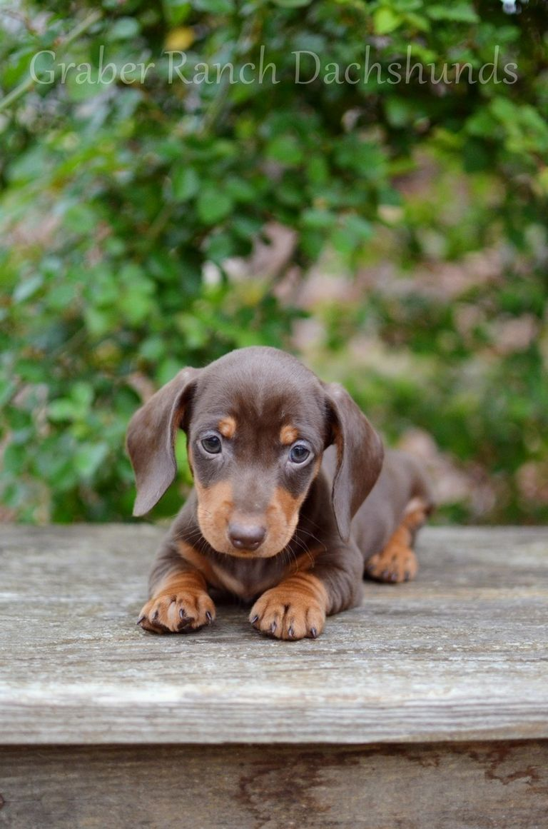 Dachshunds For Sale In The South