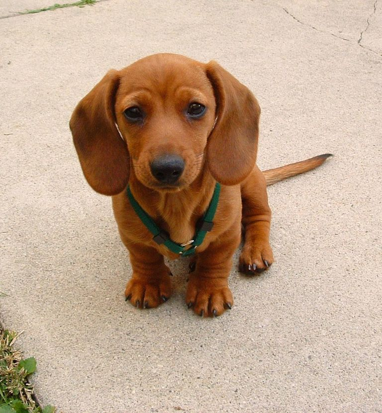 Dachshunds For Sale Peoria Il