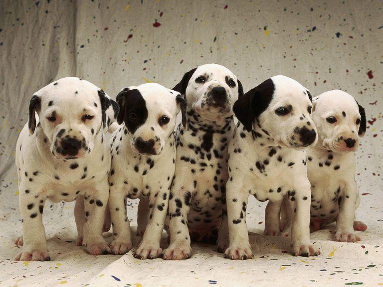 Dalmatian Puppies For Sale In Az