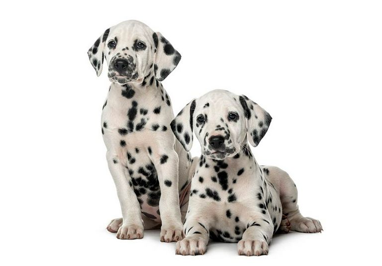 Dalmatian Puppies For Sale In Oklahoma
