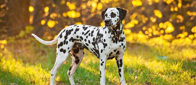 Dalmatian Puppies For Sale In Philadelphia