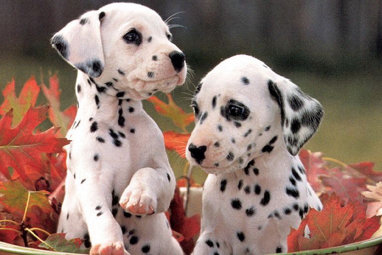 Dalmatian Puppies Tampa