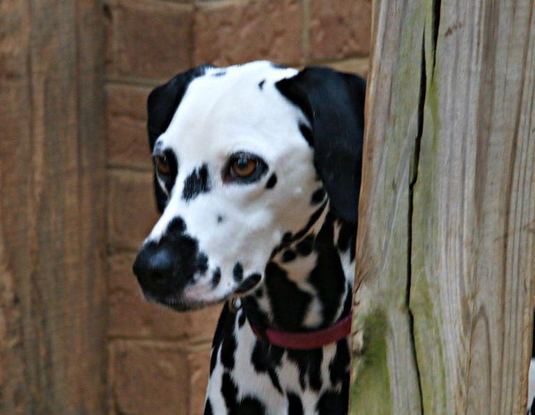 Dalmatian Rescue Midwest
