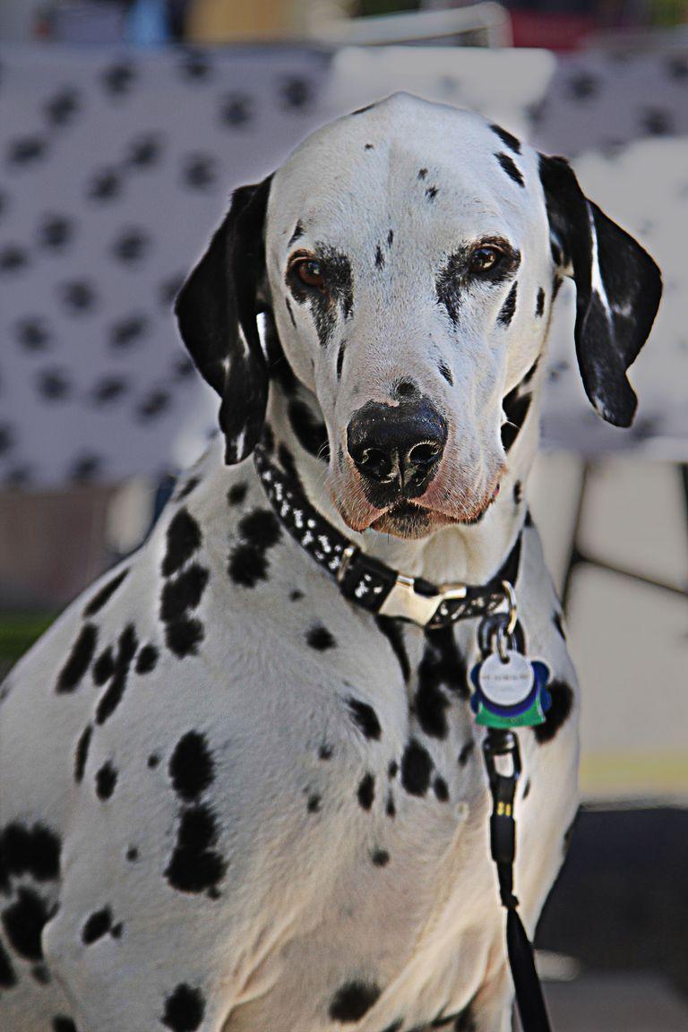 Dalmatian Rescue Nj