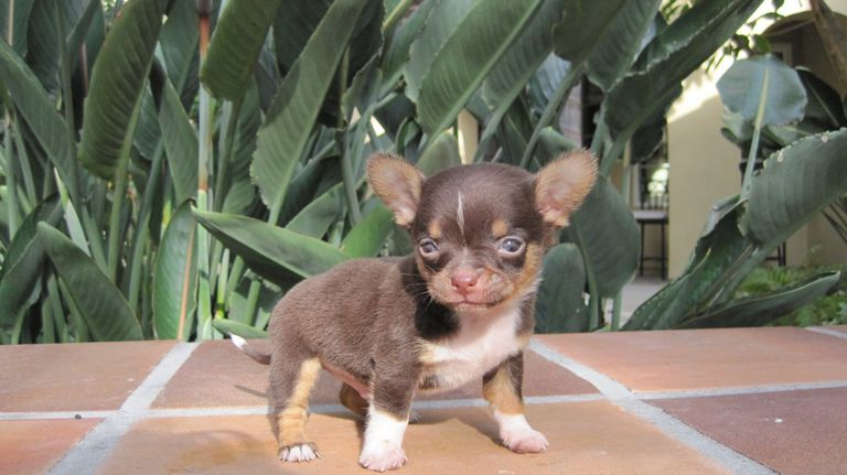 Deer Head Chihuahua For Sale In Texas