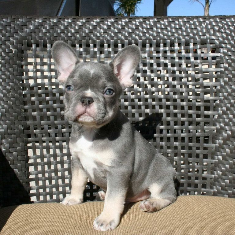 Delta Southern French Bulldogs