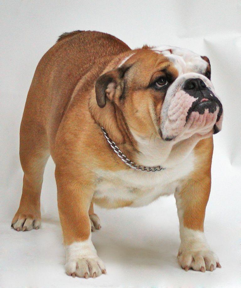 Difference Between Old English Bulldog And British Bulldog