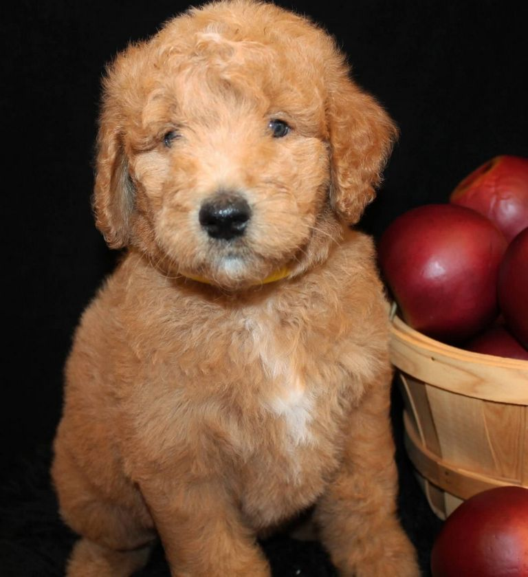 Do Goldendoodles Get Lighter Or Darker