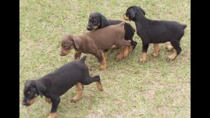 Doberman Breeders In San Diego