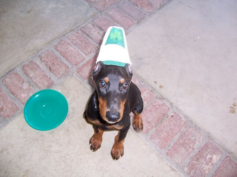 Doberman Ear Cropping Aftercare
