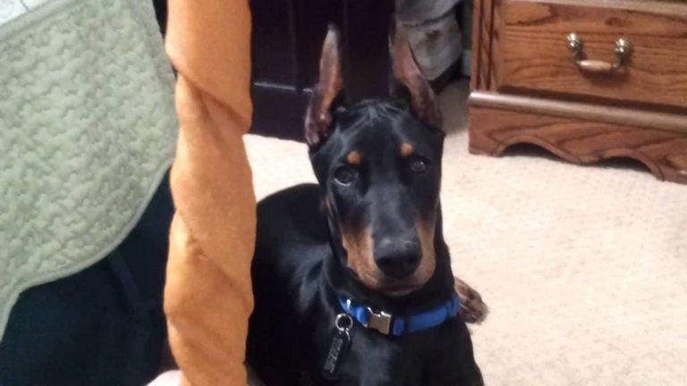 Doberman Ear Cropping At 4 Months