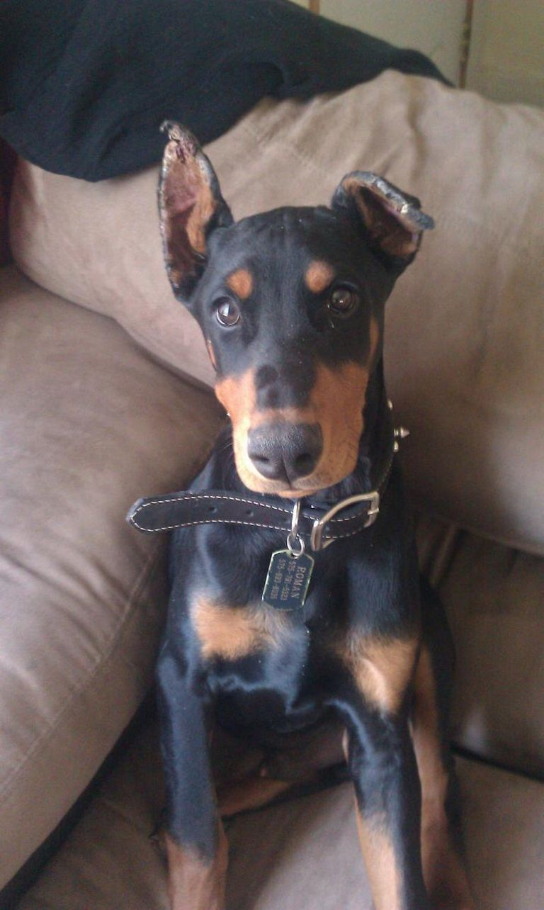 Doberman Ear Cropping Healing Time