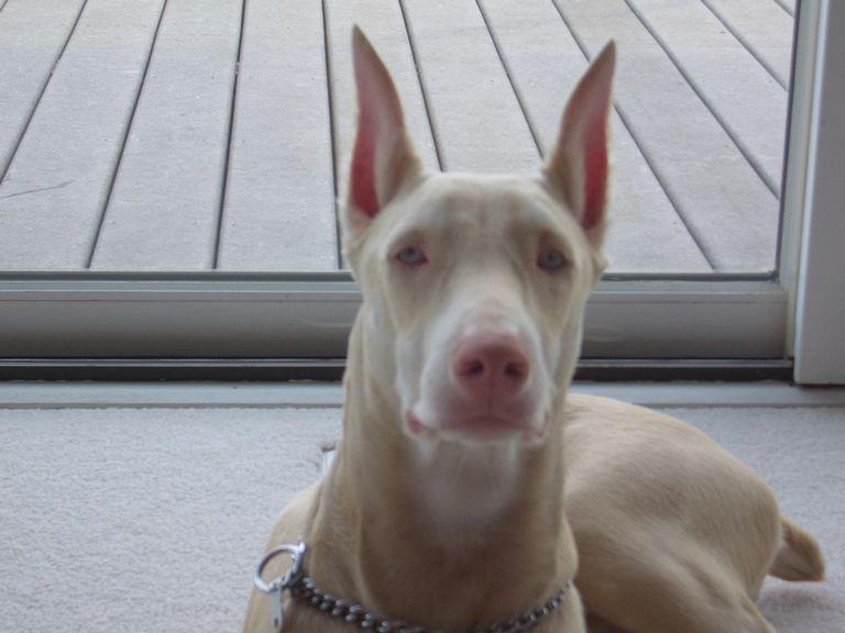 Doberman Puppies For Sale In Ohio Craigslist   Top Dog ...