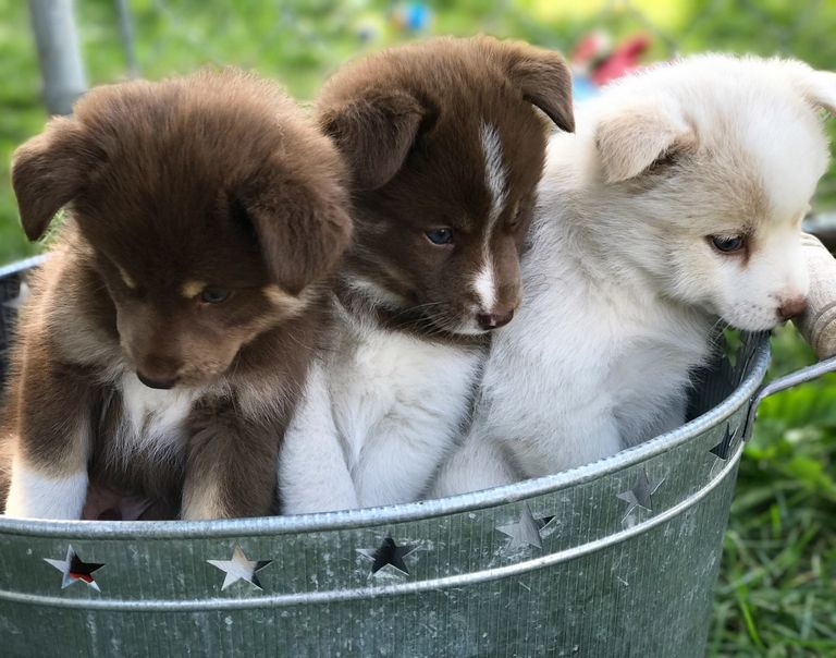 Dogs For Sale In Hailey Idaho