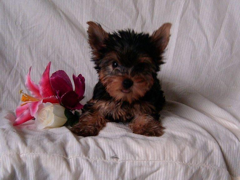 Dogs For Sale Lincoln Ne
