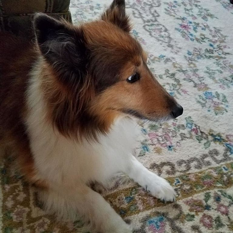 Dogwood Sheltie Rescue