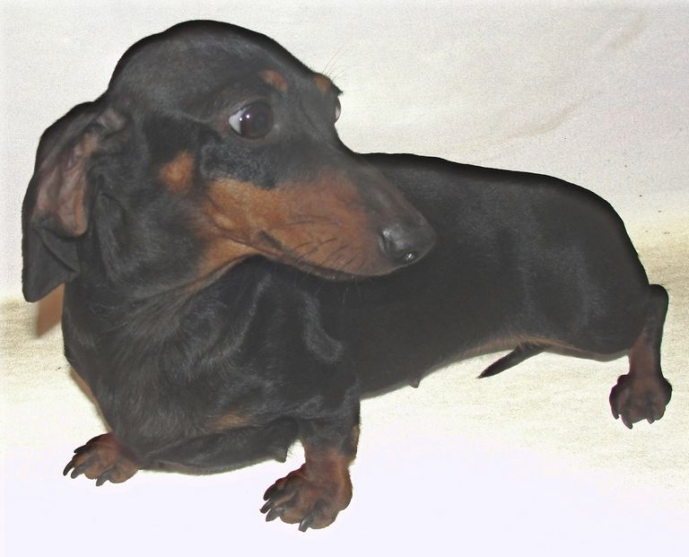 Doxie Breeders