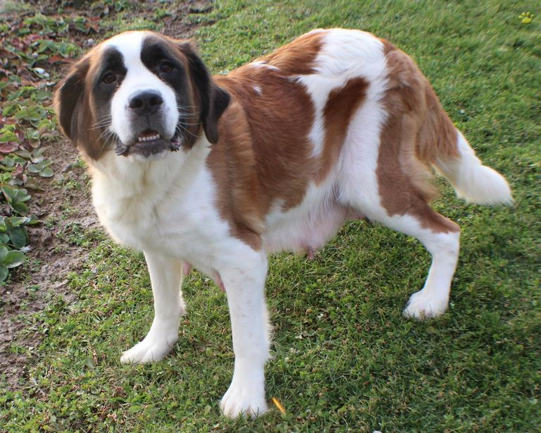 Dry Mouth St Bernard Puppies For Sale In Indiana