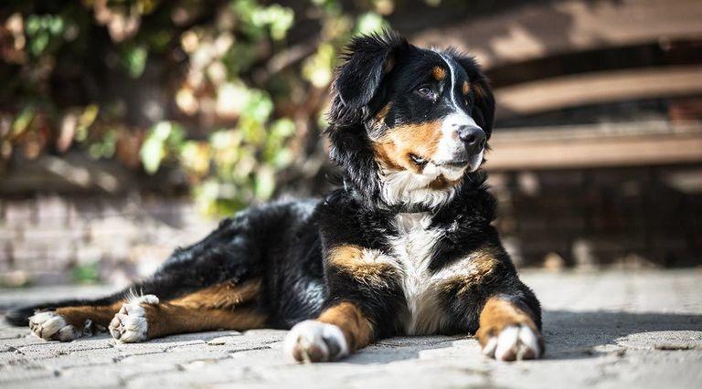 Elbow Dysplasia In Newfoundland Dogs