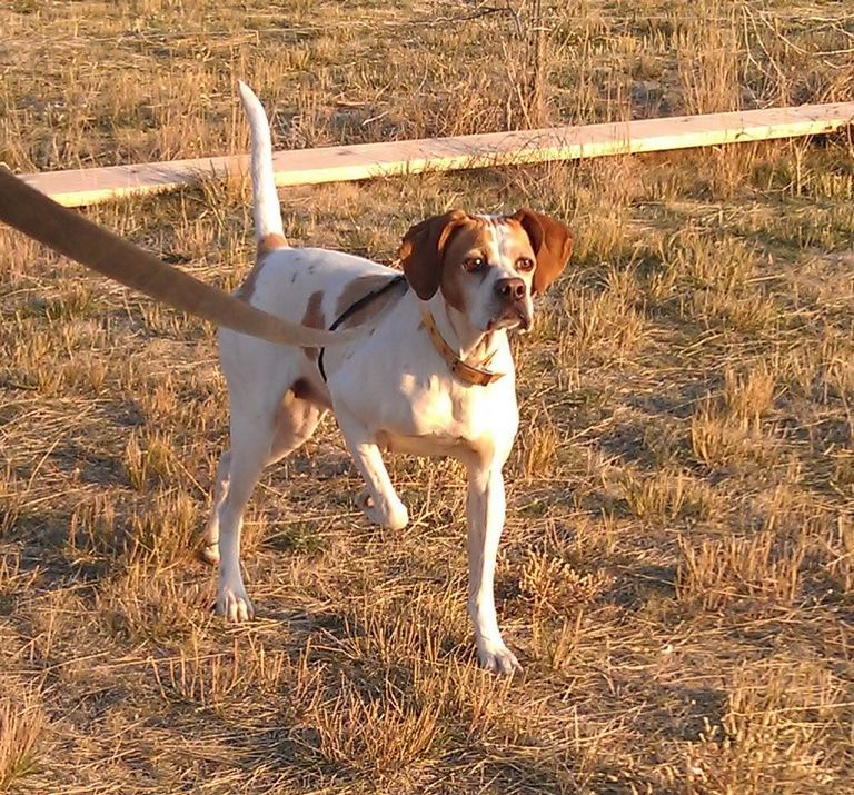 Elhew English Pointer Puppies For Sale California