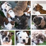 English Bulldog Breeders In Los Angeles