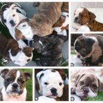 English Bulldog Breeders In Los Angeles