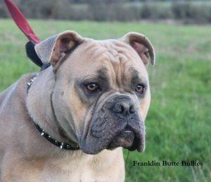 English Bulldog Breeders Pacific Northwest