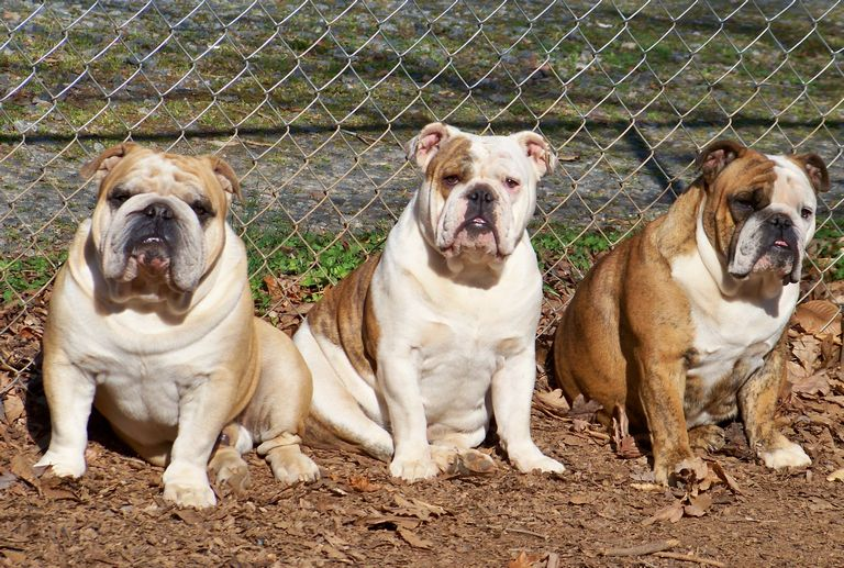 English Bulldog Puppies Charlotte Nc