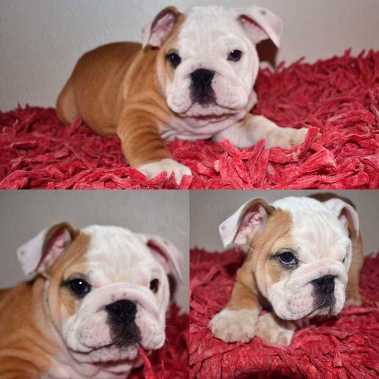 English Bulldog Puppies Corona Ca